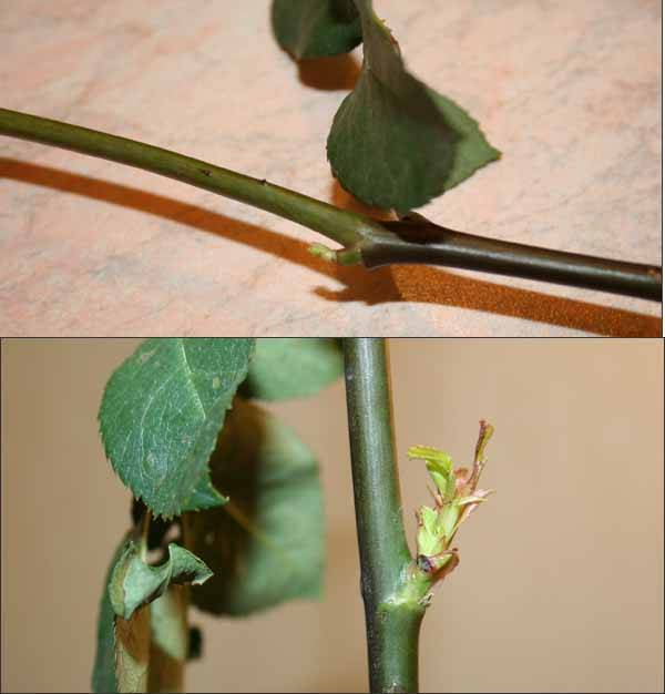 О выращивании роз в домашних условиях в квартире, на балконе: посадка и уход