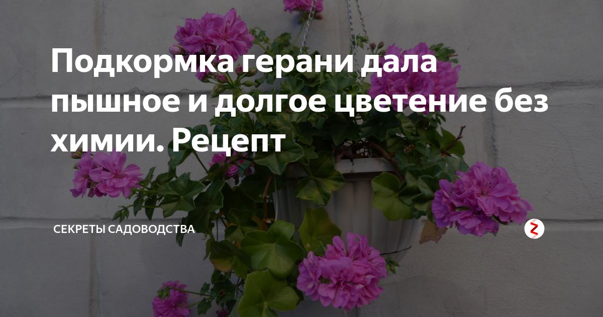 Как поливать и чем подкормить пеларгонию, чтобы получить обильное цветение?