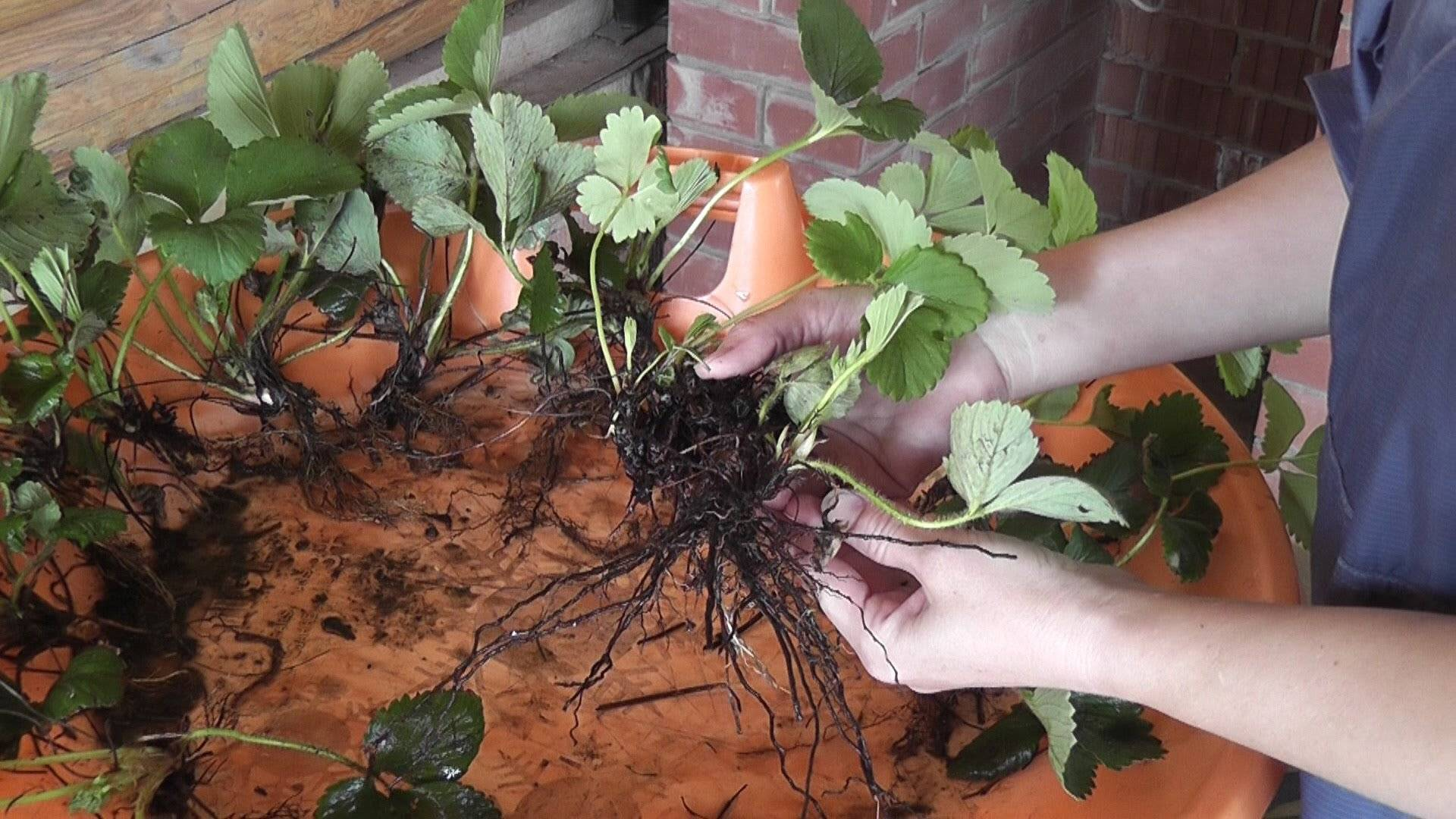 Как вырастить дейцию из семян?