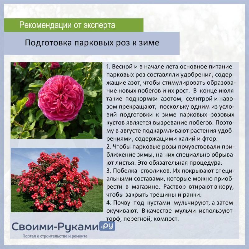 Парковые розы посадка, уход, сорта с фото