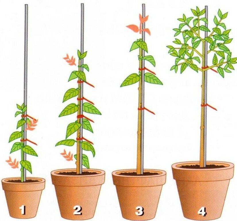Выращивание фуксии в домашних условиях и уход за ней