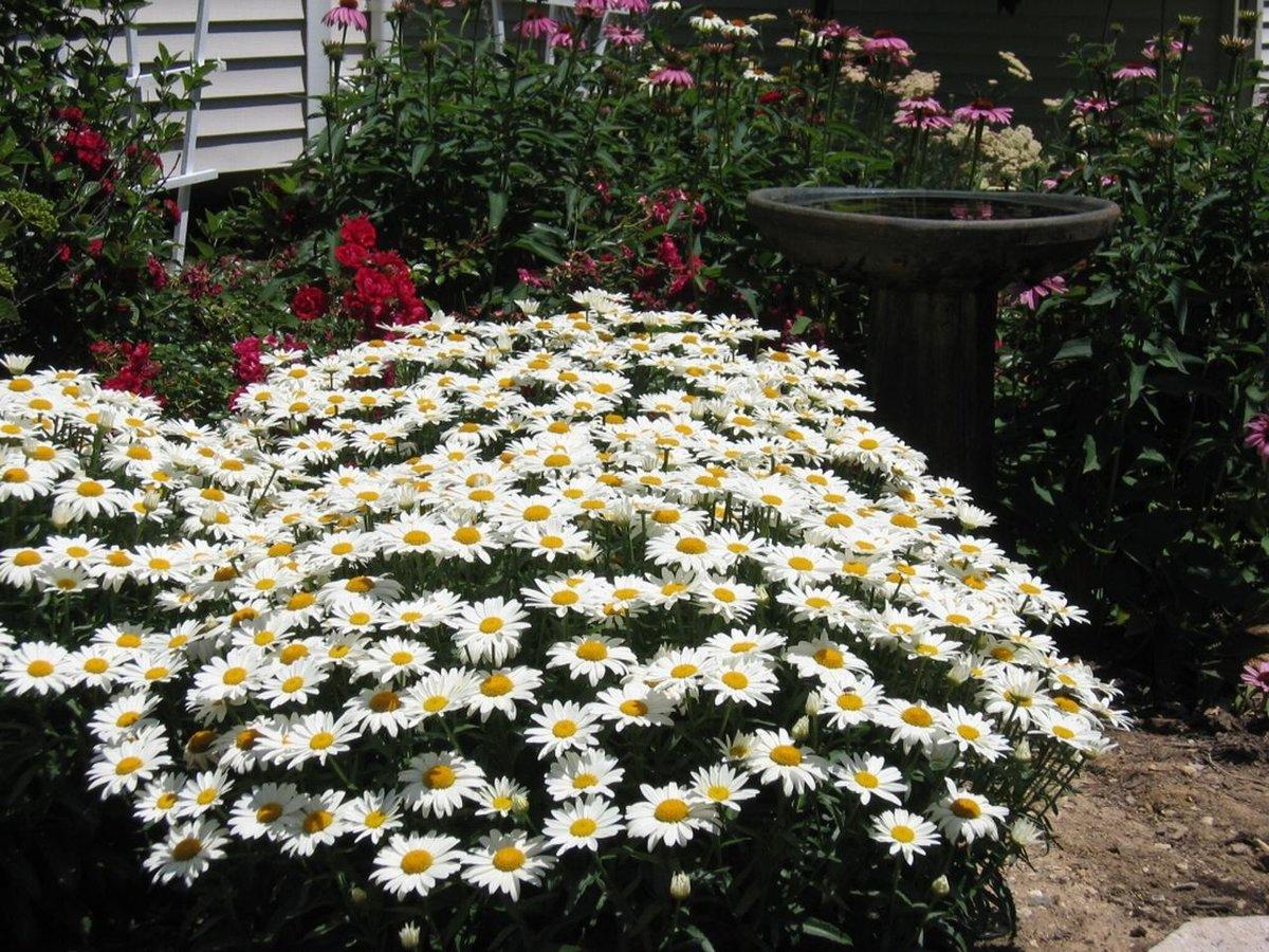 Ромашка садовая — особенности выращивания в домашних условиях