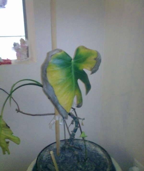 Почему желтеют листья у лилейника — что делать