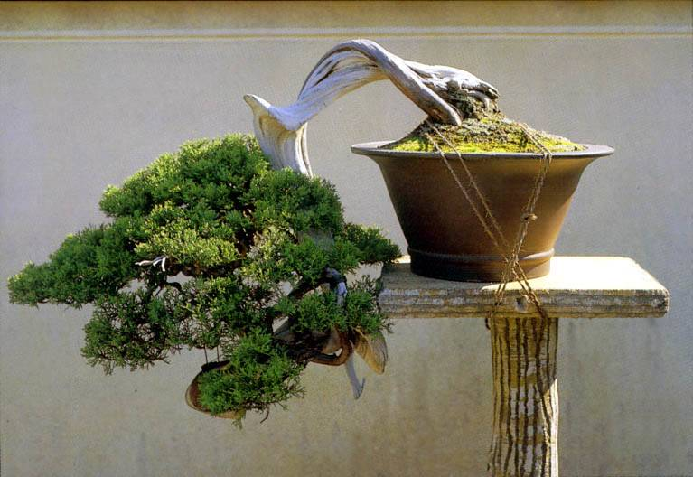 Выращивание японской сосны из семян в домашних условиях