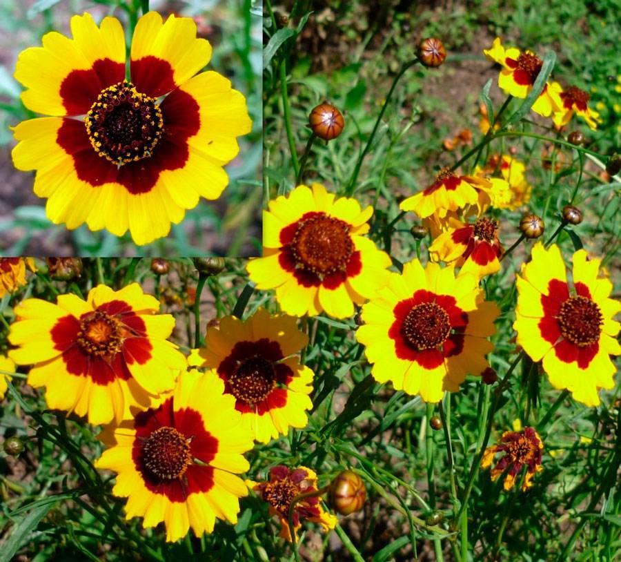Кореопсис многолетний мутовчатый: фото многолетних цветов махровых и желтых