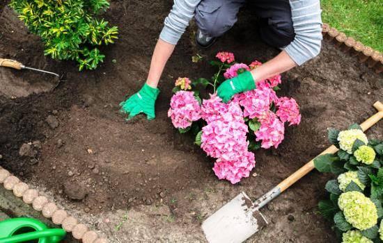 Гортензия розовая — описание сортов, посадка и уход в открытом грунте в саду