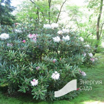Описание рододендрона: время цветения, ядовитый или нет, какого цвета бывают