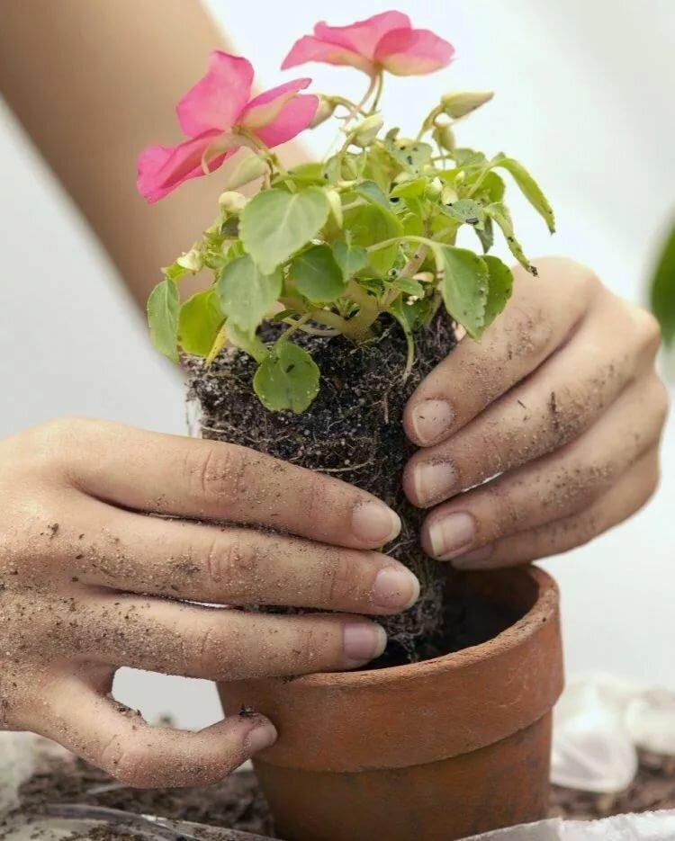 Цветок необычайной красоты – цикламен. выращивание и уход в домашних условиях, а также рекомендации садоводам