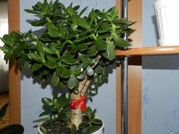 Денежное дерево для привлечения достатка и удачи, приметы и суеверия
