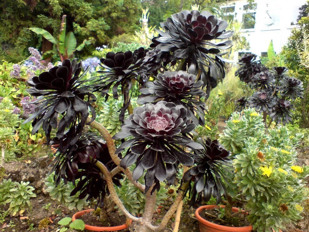 Как правильно выращивать эониум древовидный в домашних условиях?