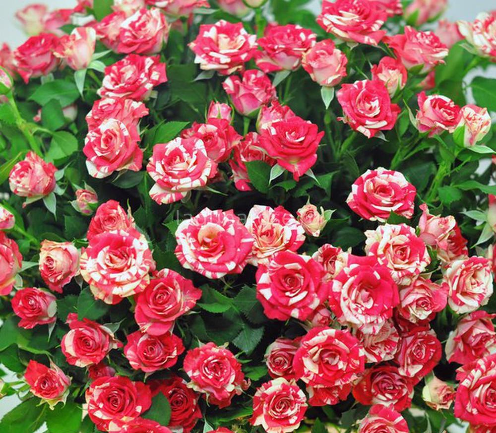 Роза файер флеш фото и описание