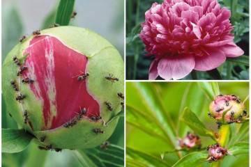 Трипсы на розах — как избавиться от паразитов