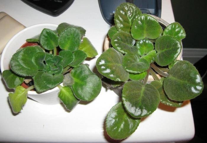 Как ухаживать за фиалкой так, чтобы она цвела? что делать, если у нее растут только листья? как заставить фиалку обильно цвести в домашних условиях?