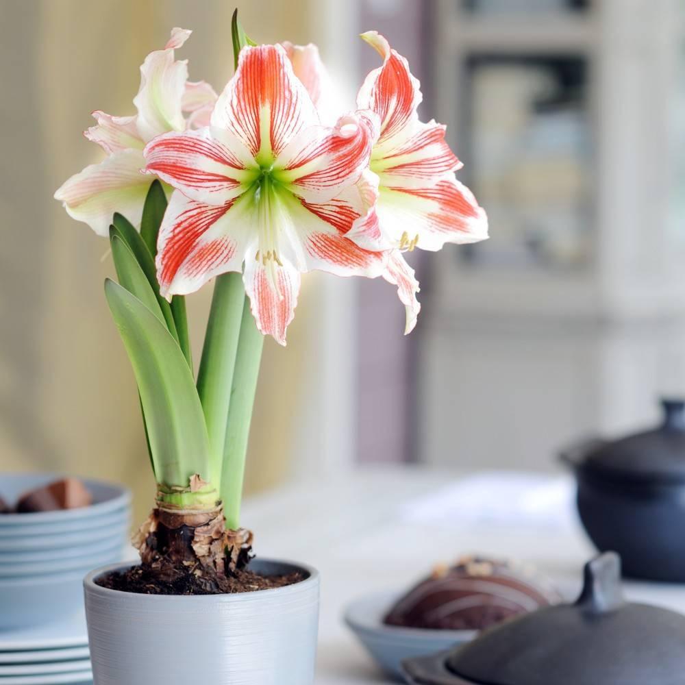 Амариллис (87 фото): посадка и уход за цветком в домашних условиях, виды амараллис красный и белладонна, выращивание из луковицы и пересадка