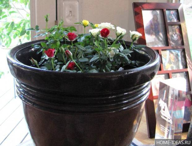 Способы, как размножить комнатную розу. последующий уход и возможные проблемы