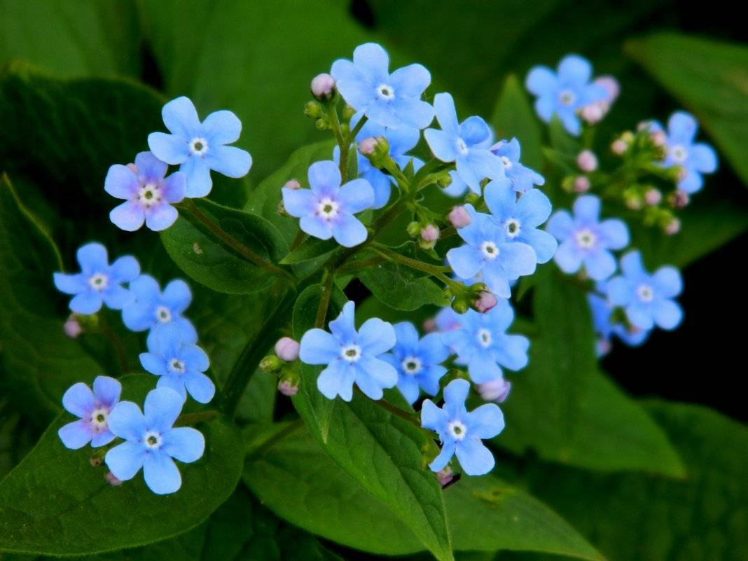Незабудка: особенности цветка и уход
