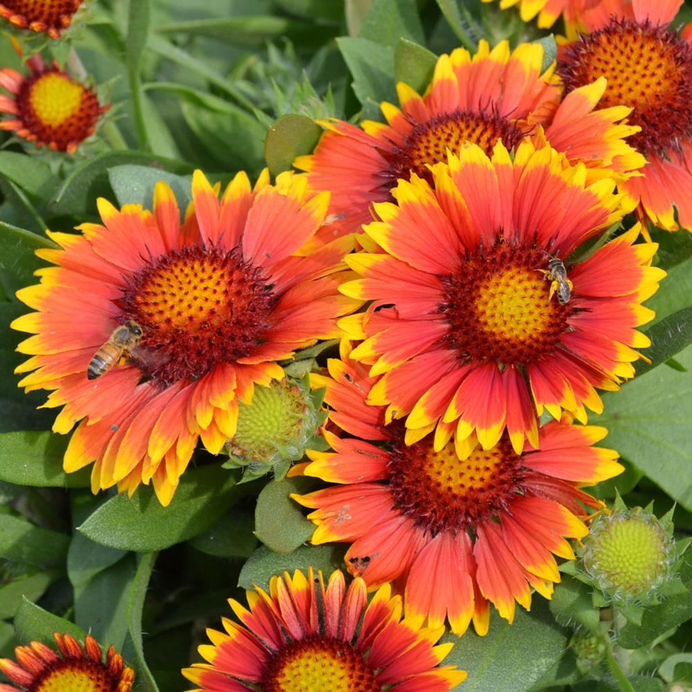 Гайлардия остистая «аризона сан»: подробно о выращивании цветов. описание сорта гибридной гайлардии