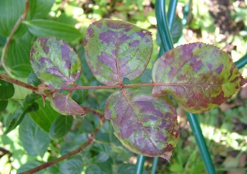 Почему у розы покраснели листья и чем это может быть опасно