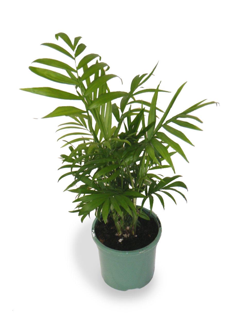 Как ухаживать захамедореей, ипочему растение лучше высаживать кучно