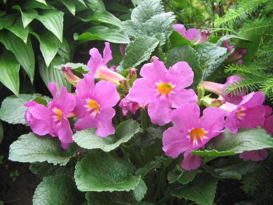 Выращивание инкарвиллеи делавеи: сорта, правильная посадка и уход за растением