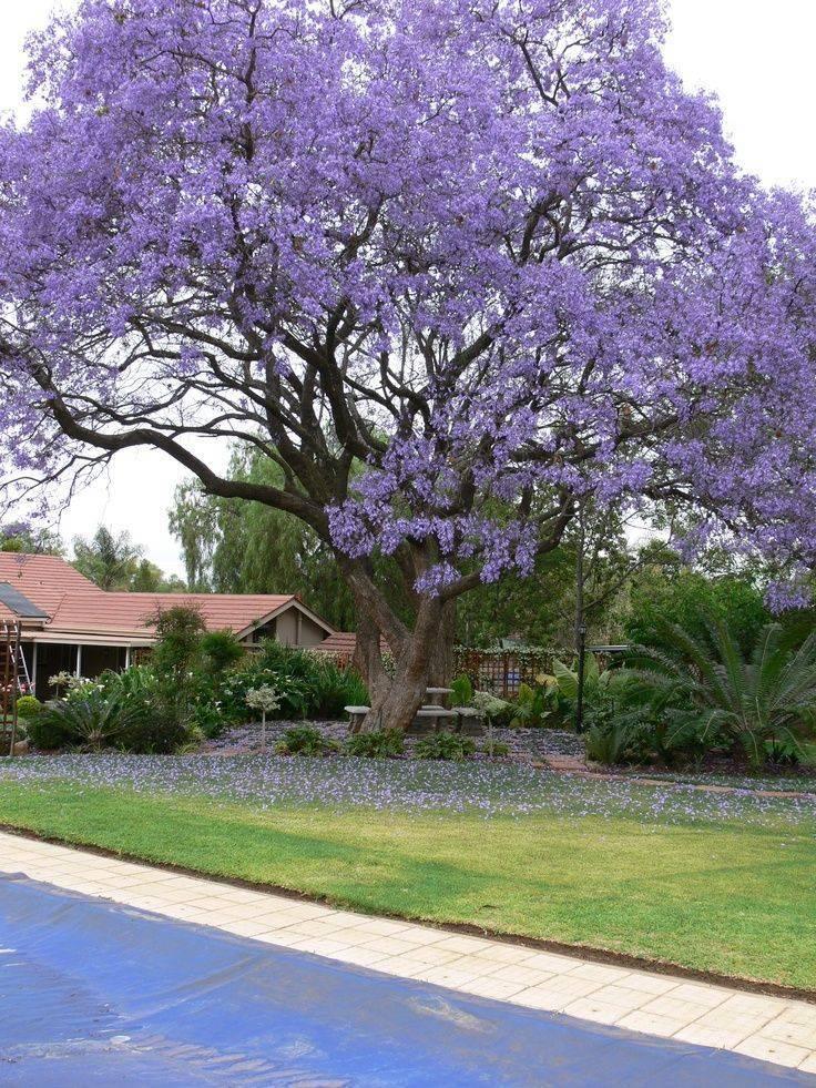 Где растет жакаранда, дерево с фиолетовыми цветами