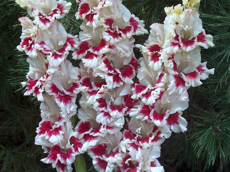 Почему гладиолусы становятся одного цвета? могут ли переопыляться растущие рядом гладиолусы разных сортов? как предотвратить смену окраски на второй год?