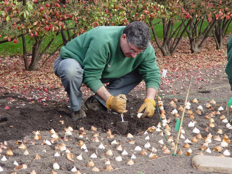 Посадка тюльпанов осенью: когда и как посадить луковицы (месяцы)