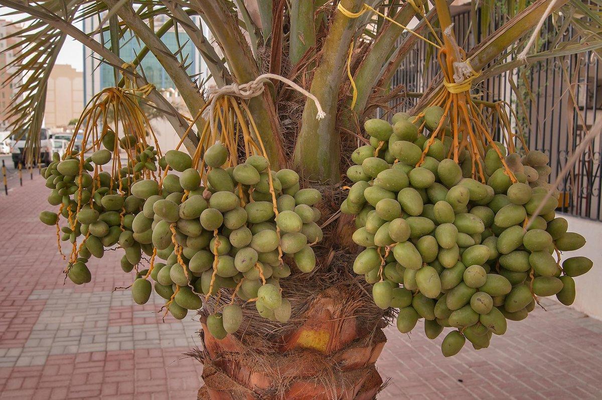 финиковая пальма дома с плодами фото аптекаря музея старая