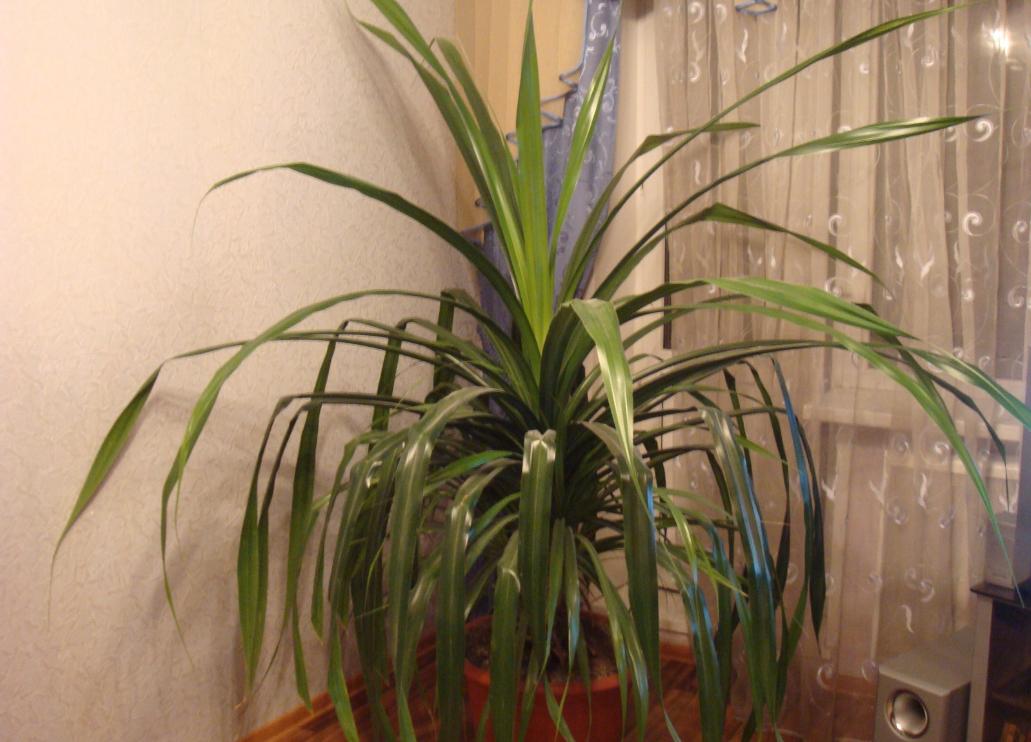 Пальма панданус