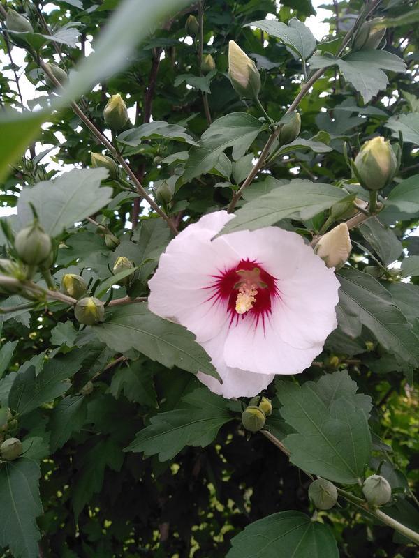 Гибискус садовый уличный: травянистый и древовидный многолетний кустарник — как выглядят виды, уход в саду, а также фото растения, когда цветет весной