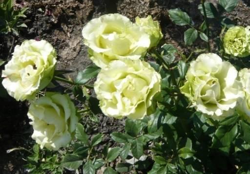 Описание сорта розы помпонелла класса флорибунда немецкой селекции, как ухаживать