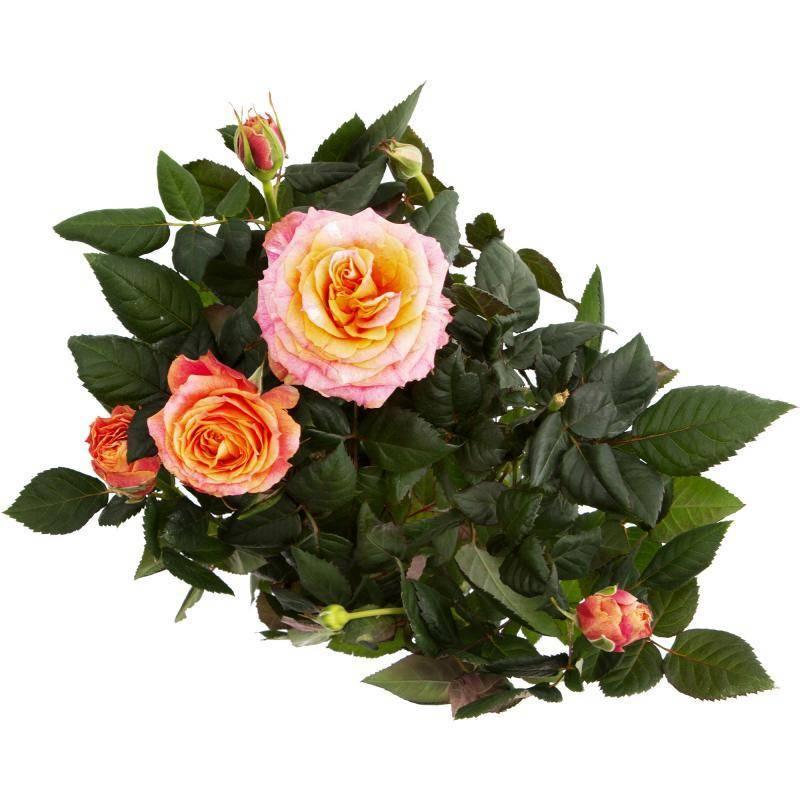 Описание дикой розы: как выглядит куст, белый или желтый шиповник