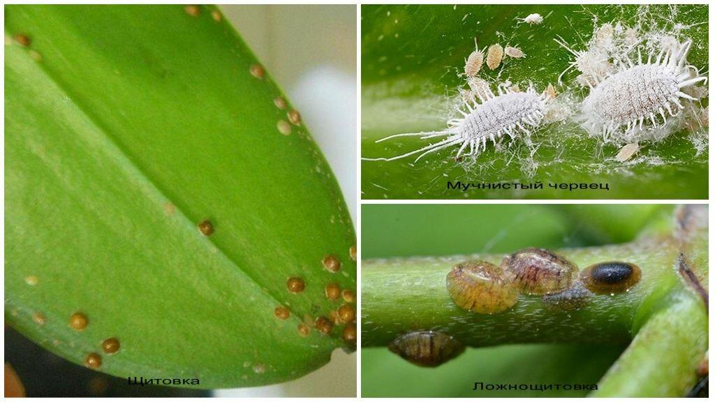 8 самых распространенных вредителей фаленопсисов (с фото)