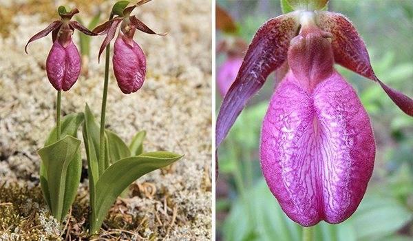 «венерины башмачки», или пафиопедилум — легенда среди комнатных орхидей