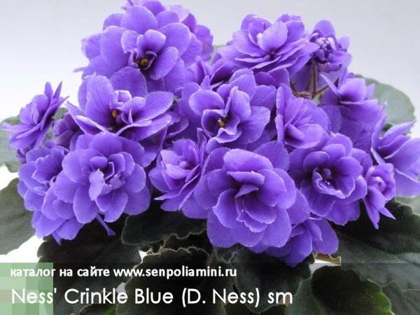 Клузия росеа принцесс уход в домашних условиях размножение виды клузии с фото и описанием