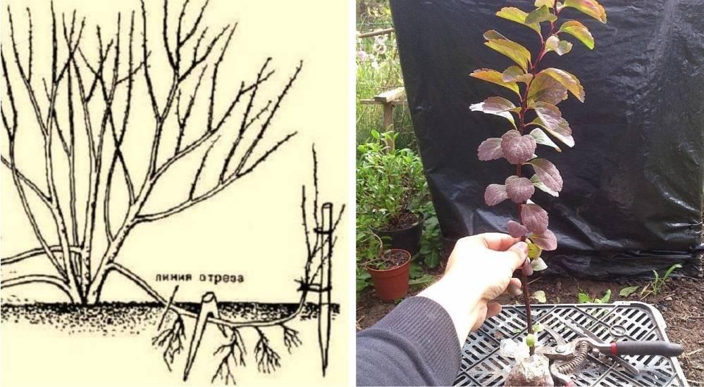 Черенкование – отличный способ размножить любимые растения