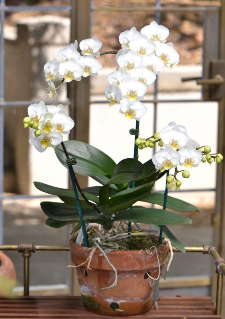Фаленопсис, выращиваем орхидеи в домашних условиях