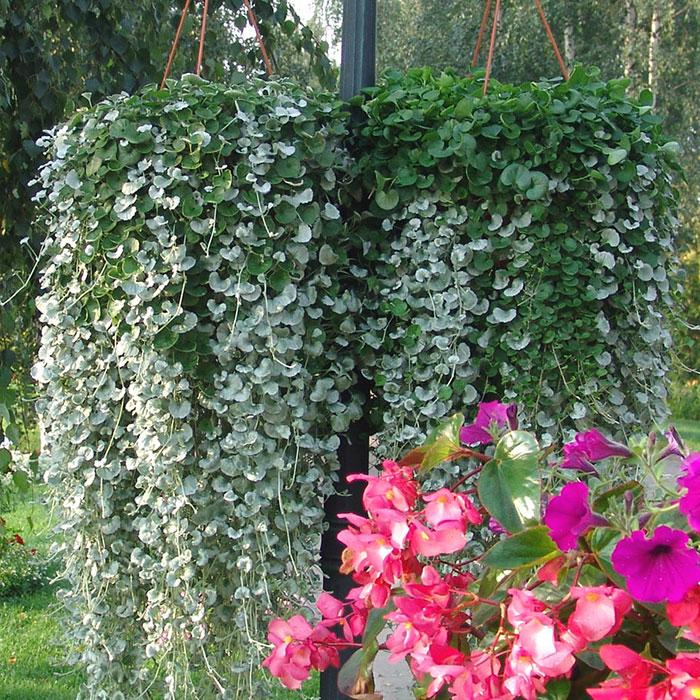 Цветок серебристый водопад дихондра: выращивание дома самостоятельно