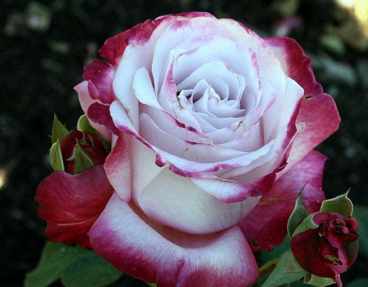 Плетистые розы, цветущие все лето: сорта зимостойкие