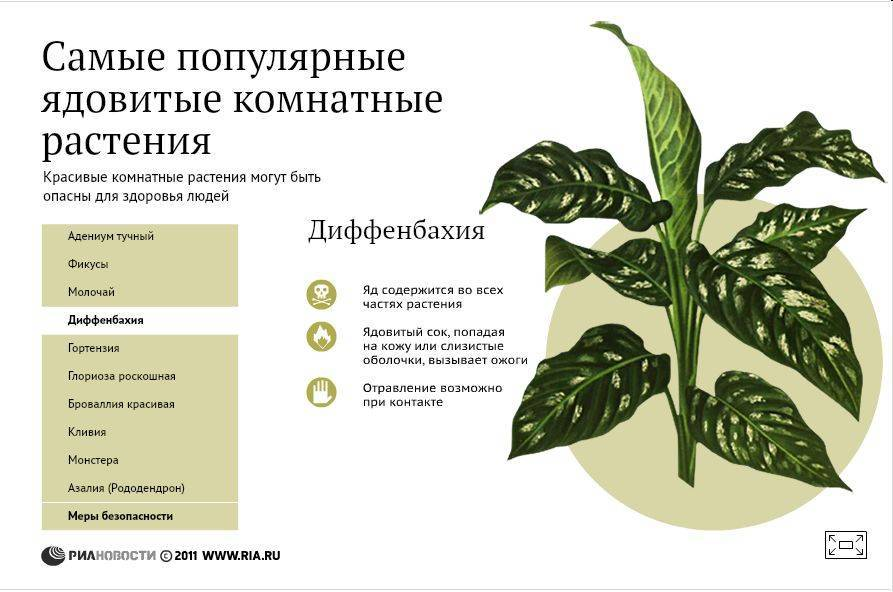 Диффенбахия: почему нельзя держать дома растение?