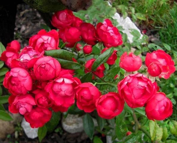 Всё о полиантовых розах, их фото