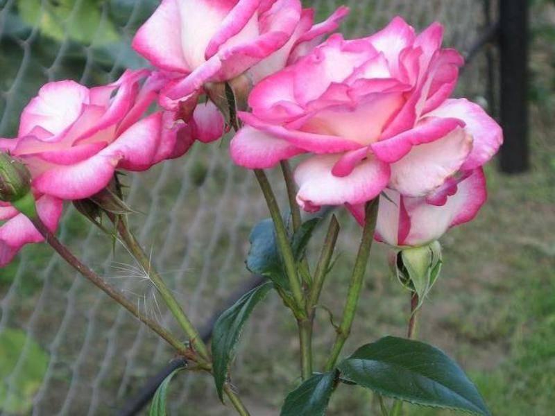 Роза хендель плетистая отзывы описание + фото