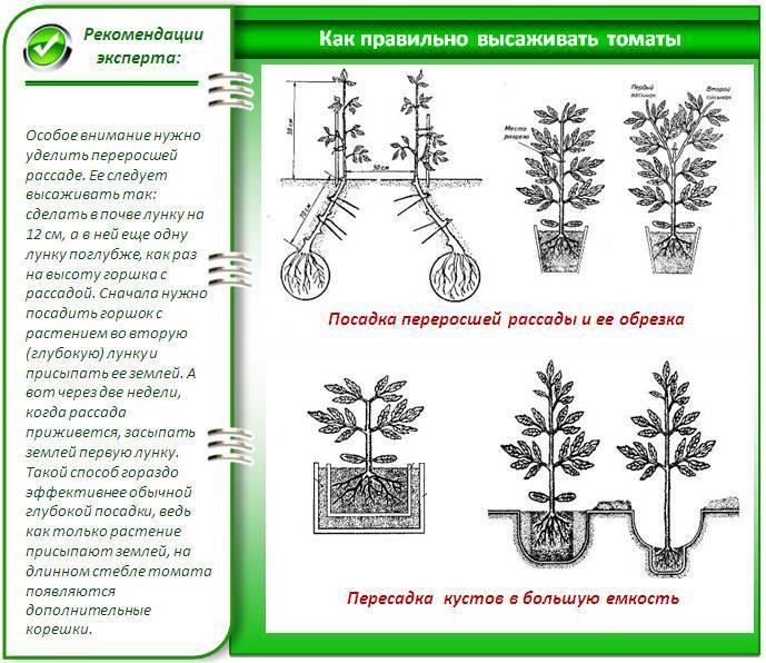Особенности ухода за «араукарией» в домашних условиях: размножение, цветение и пересадка комнатной елочки