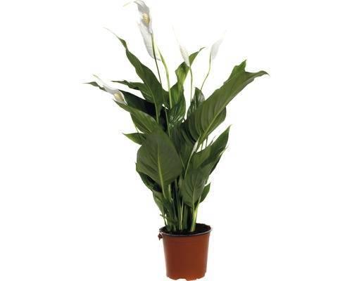 Экзотический красавец родом из тропических лесов — спатифиллум свит чико. особенности вида и уход