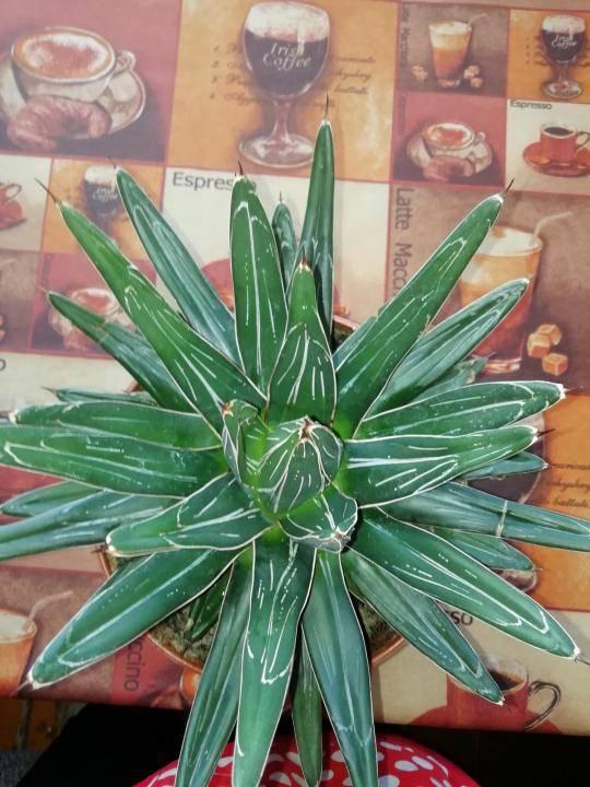 Агава, растение, – что это такое и как цветет