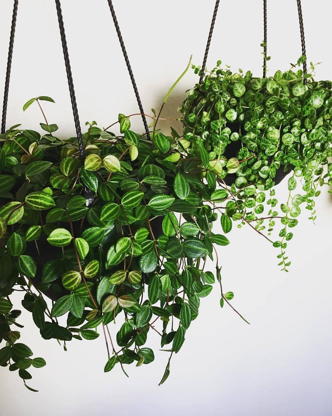 Комнатные вьющиеся растения и цветы для домашнего выращивания: названия и описания
