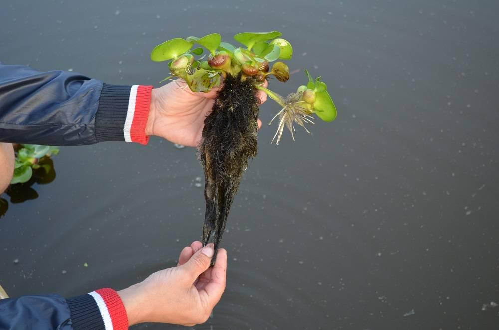 Посадка водного гиацинта и уход за ним зимой и летом
