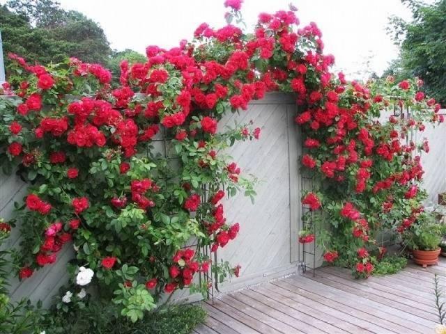 Плетистая роза «дон жуан» (22 фото): описание сорта, особенности посадки и ухода, отзывы
