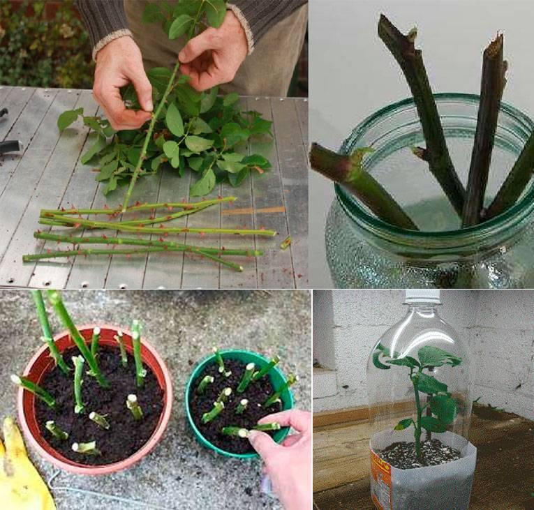 Как вырастить розу из букета в домашних условиях: пошаговая инструкция