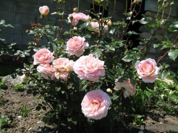 Роза абрахам дерби (abraham darby): фото и описание английского паркового растения, особенности цветения лучшего шраба 1999 года и история возникновения сорта
